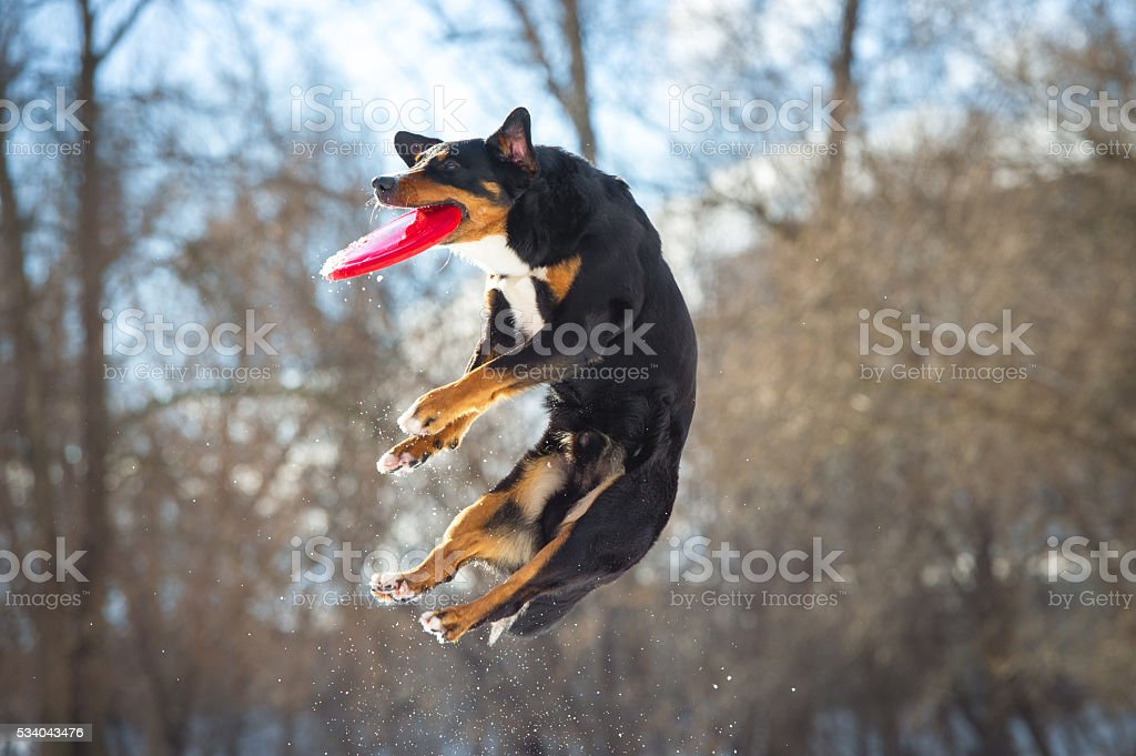 Frisbee Appenzeller Mountain dog with red flying disk stock photo