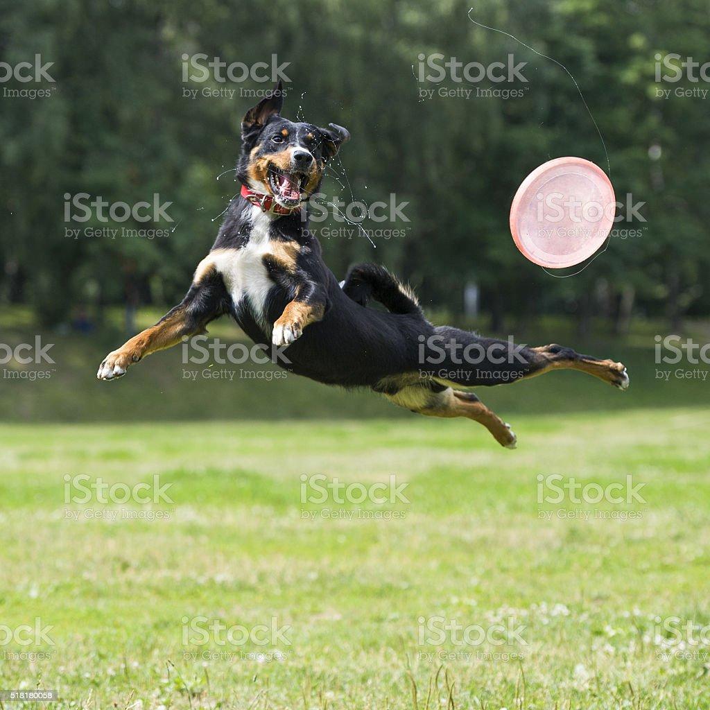 Frisbee dog stock photo