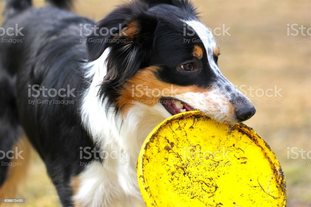 Frisbee Dog stock photo
