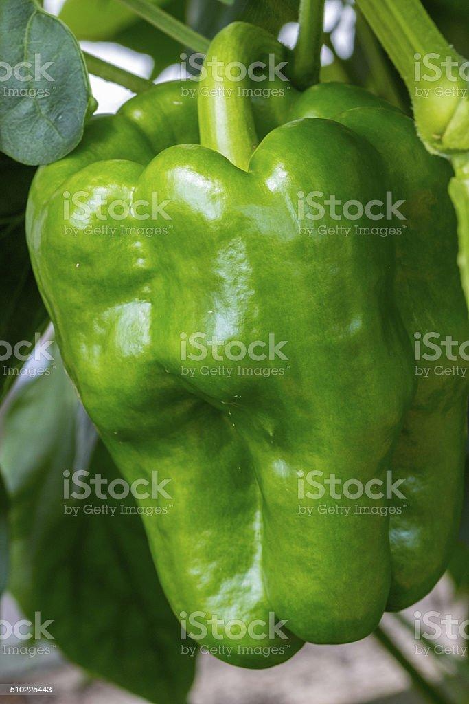 Frische Paprika stock photo