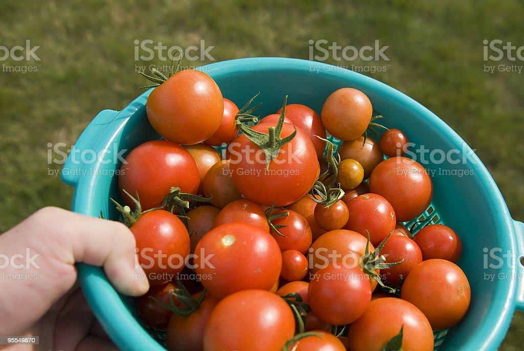 frische Tomaten stock photo