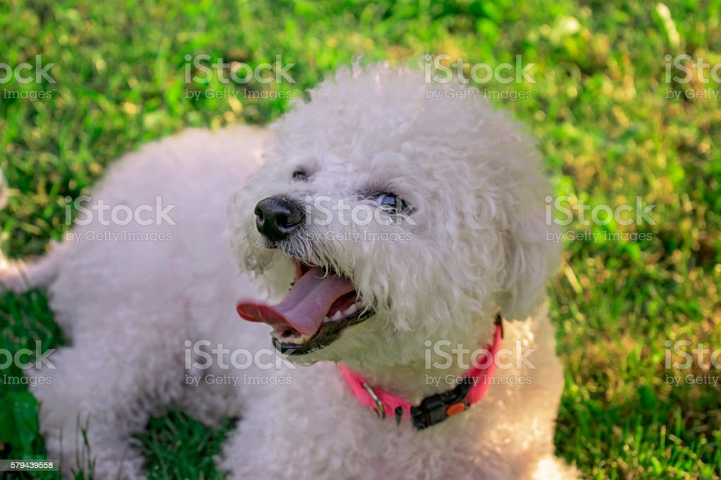 Frise bichon in park stock photo