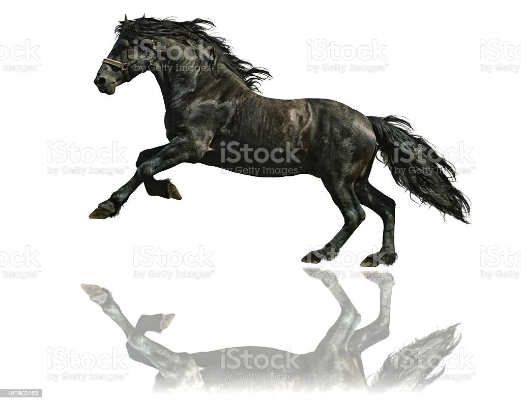 Frisian horse stallion - isolated on white stock photo