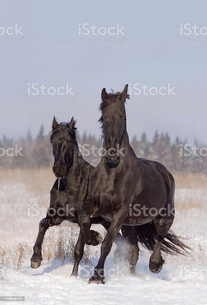 frisian horses royalty-free stock photo