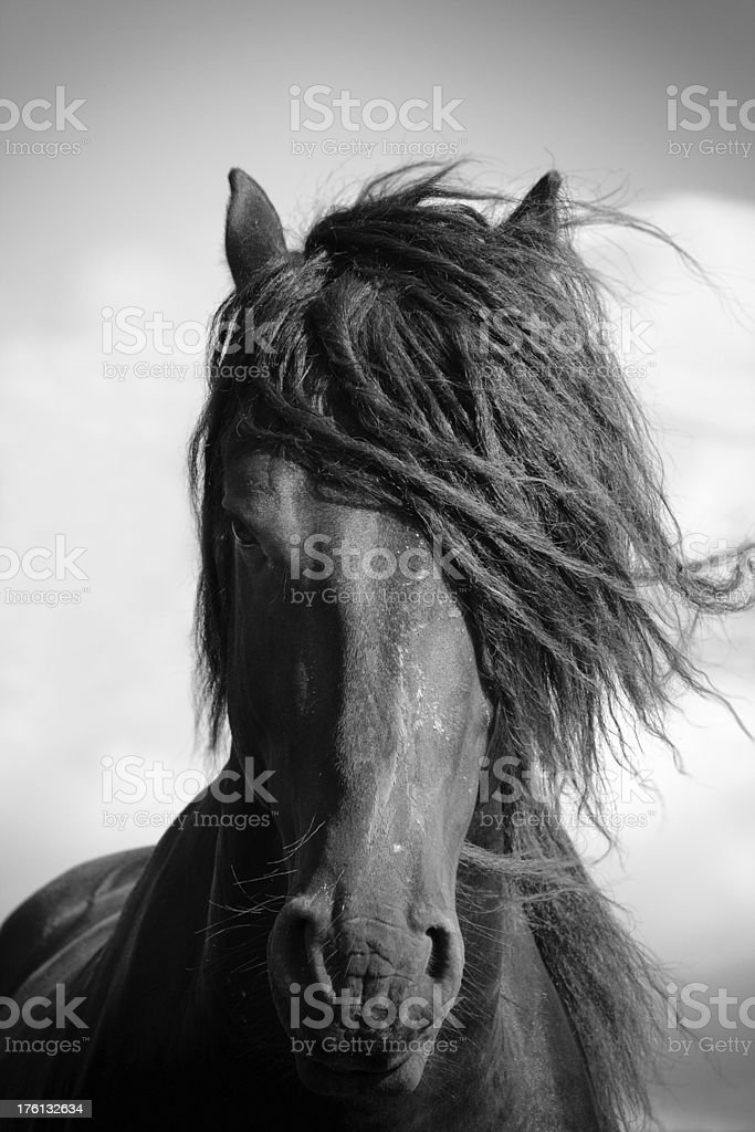 Frisian stallion stock photo