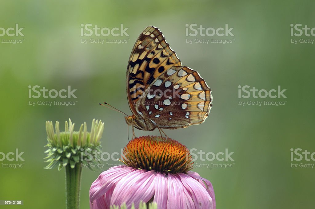 Fritiilary Butterfly On Coneflower stock photo