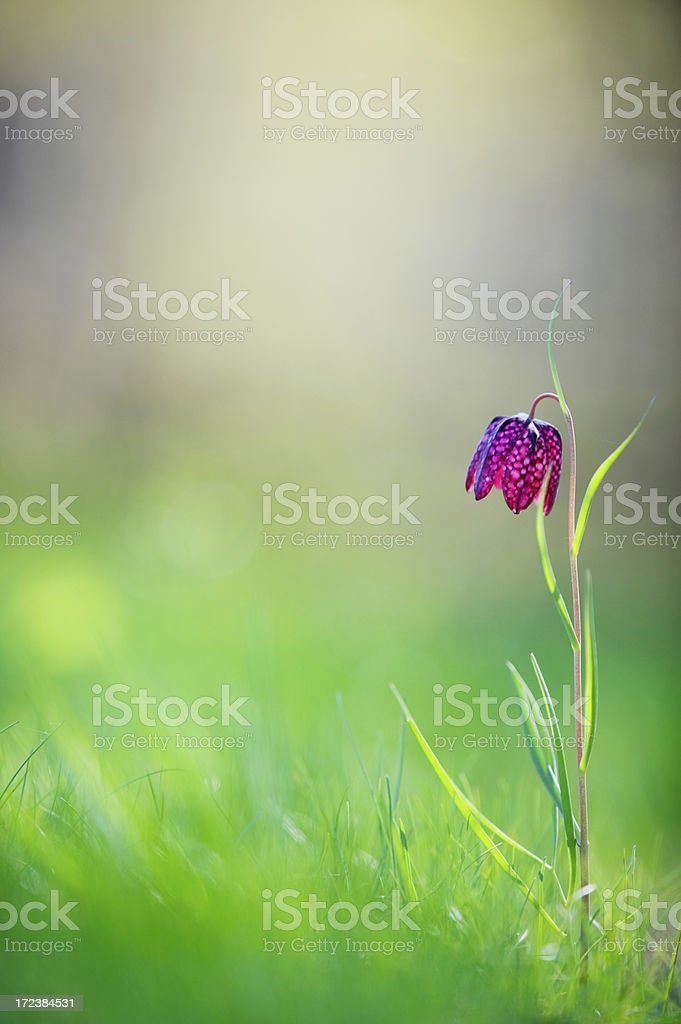 Fritillaria flower stock photo