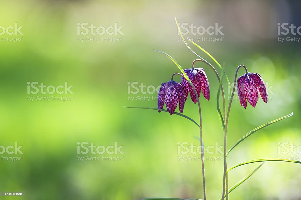 Fritillaria flowers stock photo