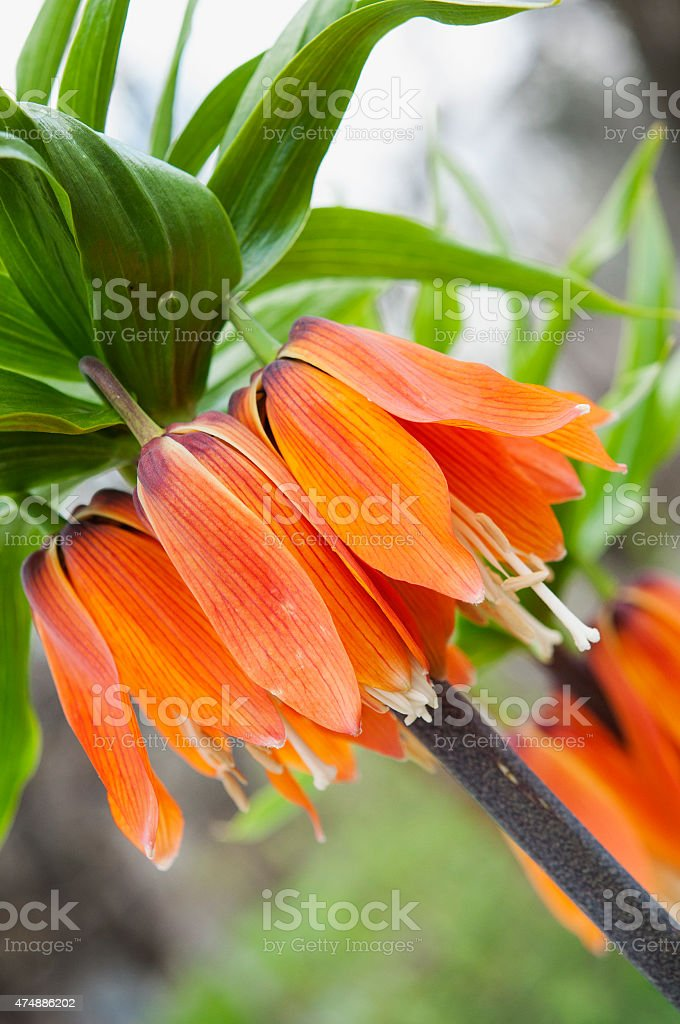 Fritillaria imperialis in bloom stock photo