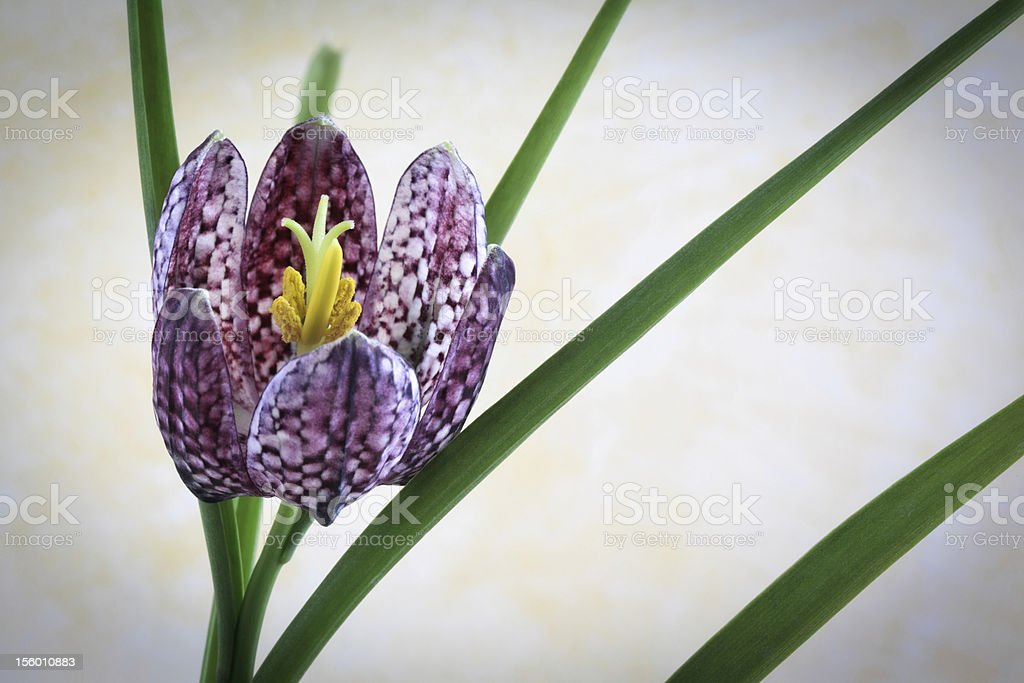 Fritillaria Meleagris - Checkered Daffodil stock photo