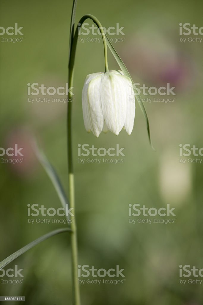 Fritillaria meleagris Flower (Snake's Head Fritillary ) stock photo