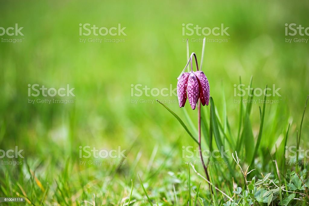 Fritillaria meleagris in the nature stock photo