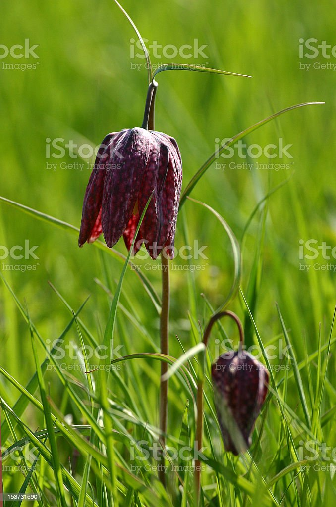 Fritillaria meleagris stock photo