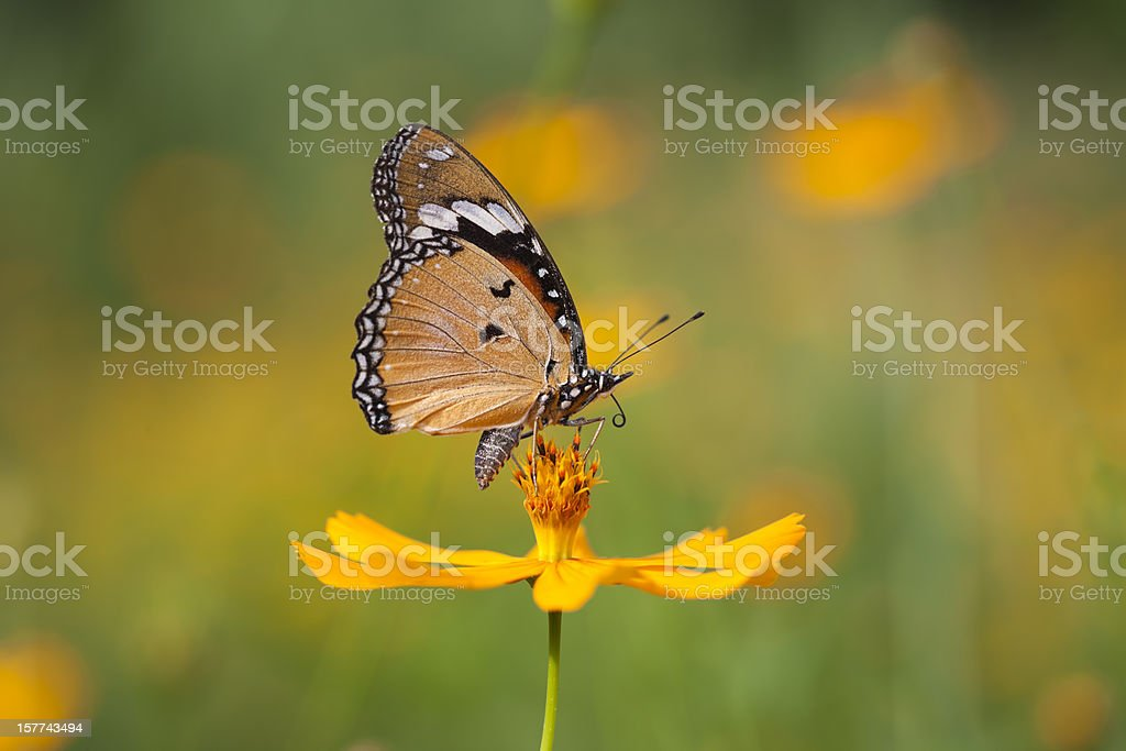 Fritillary butterfly on an orange Cosmos flower in a meadow stock photo