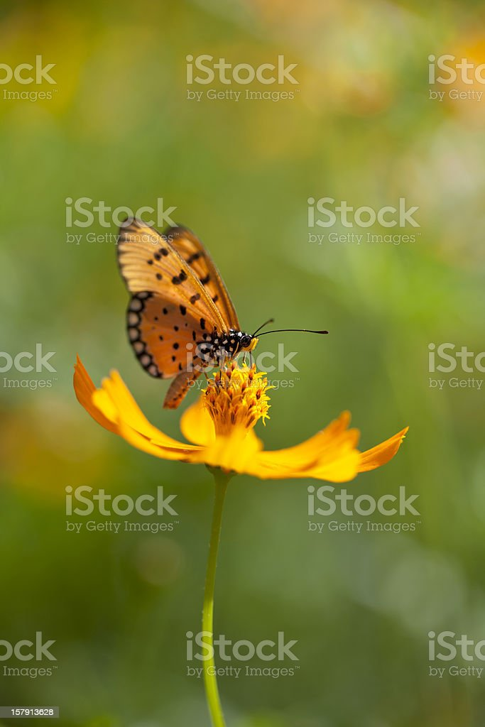 Fritillary butterfly on an orange Cosmos flower in a meadow. stock photo