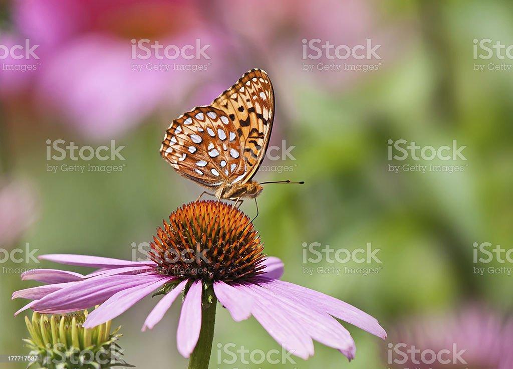 Fritillary butterfly on coneflower stock photo