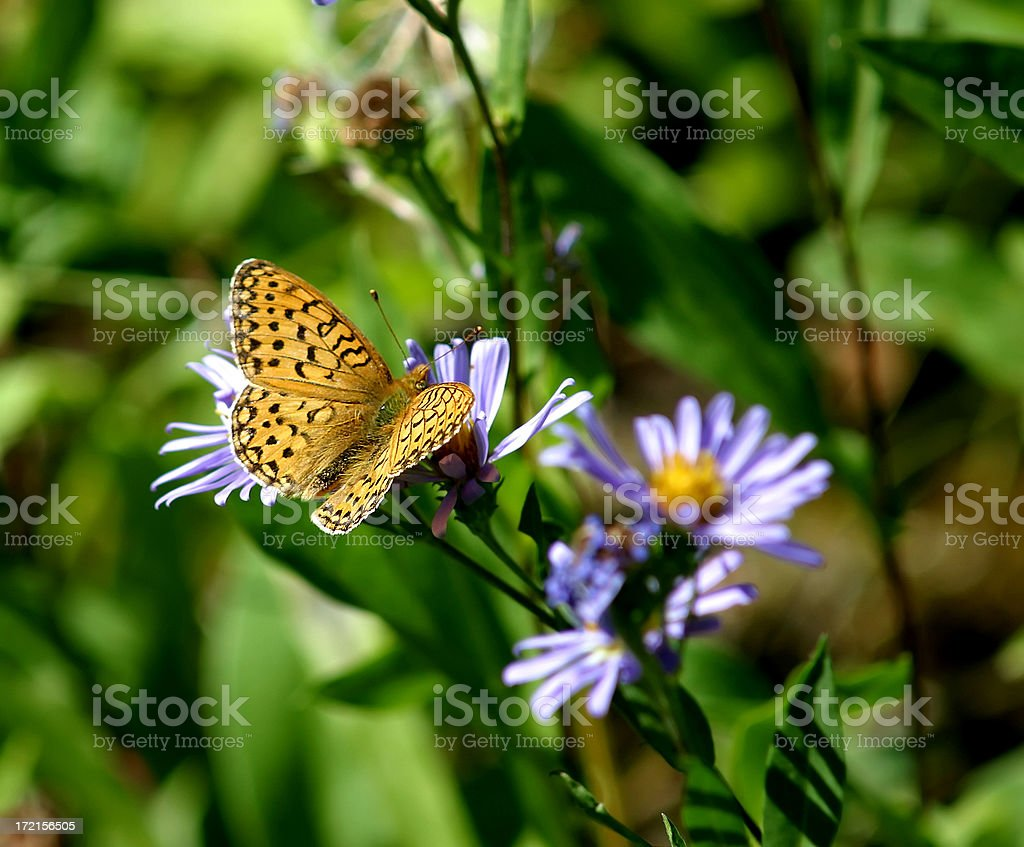 Fritillary Butterfly royalty-free stock photo