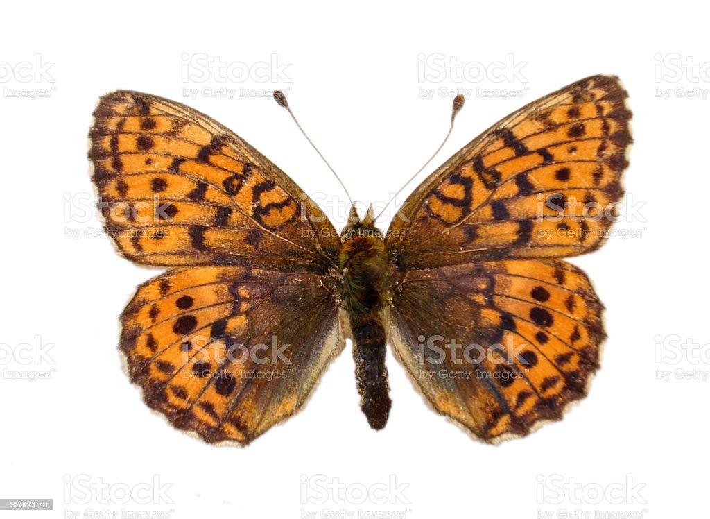 Fritillary butterfly stock photo
