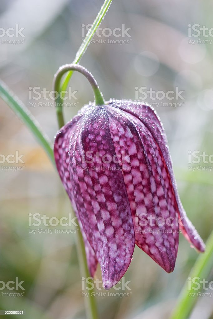 Fritillary with morning dew stock photo