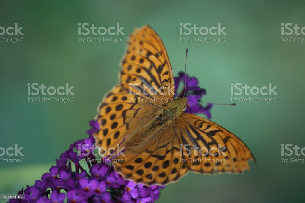 ,Fritillary,'Argynnis paphia' stock photo