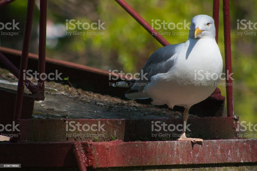 Frivolous Gull (Larus cachinnans) stock photo