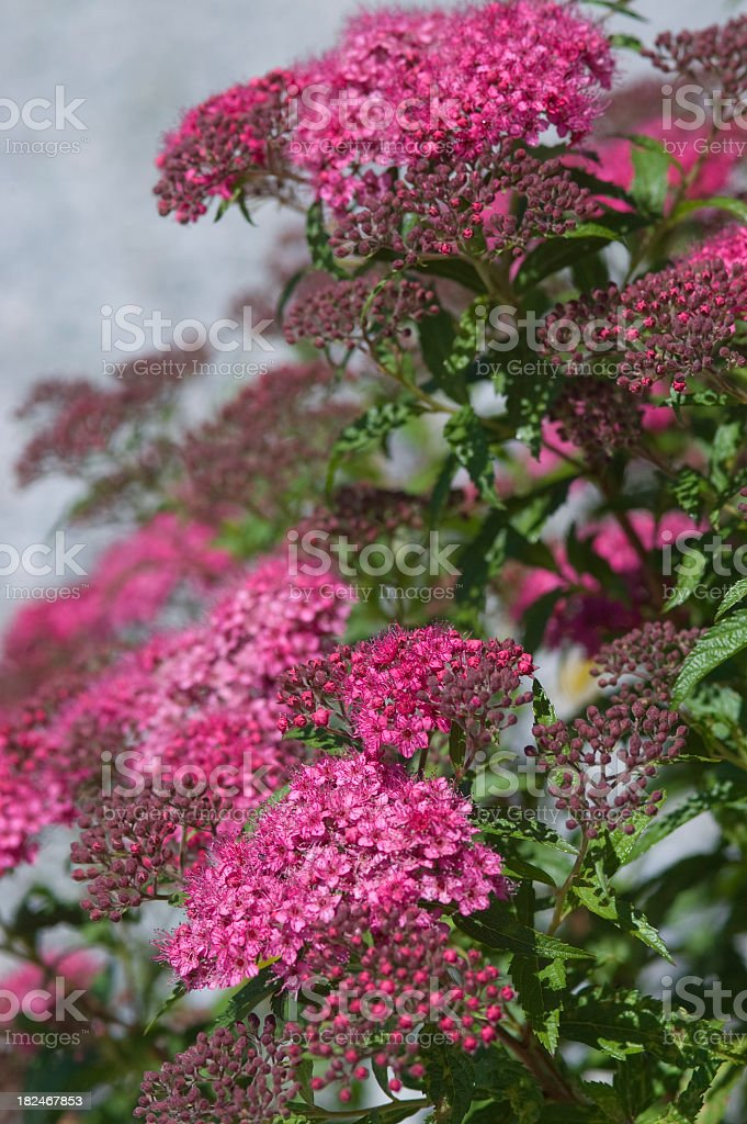'Froebel Spirea, Spiraea bumalda' stock photo