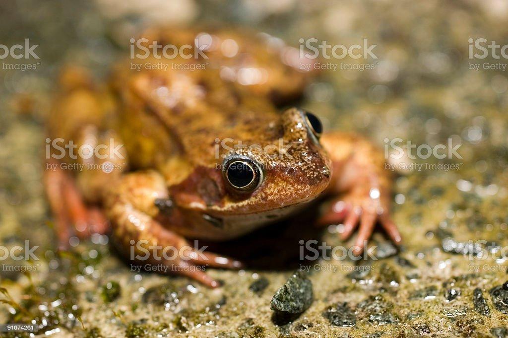 frog 2 royalty-free stock photo