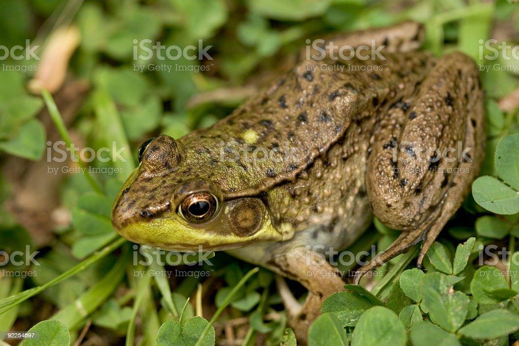 Frog 6 royalty-free stock photo