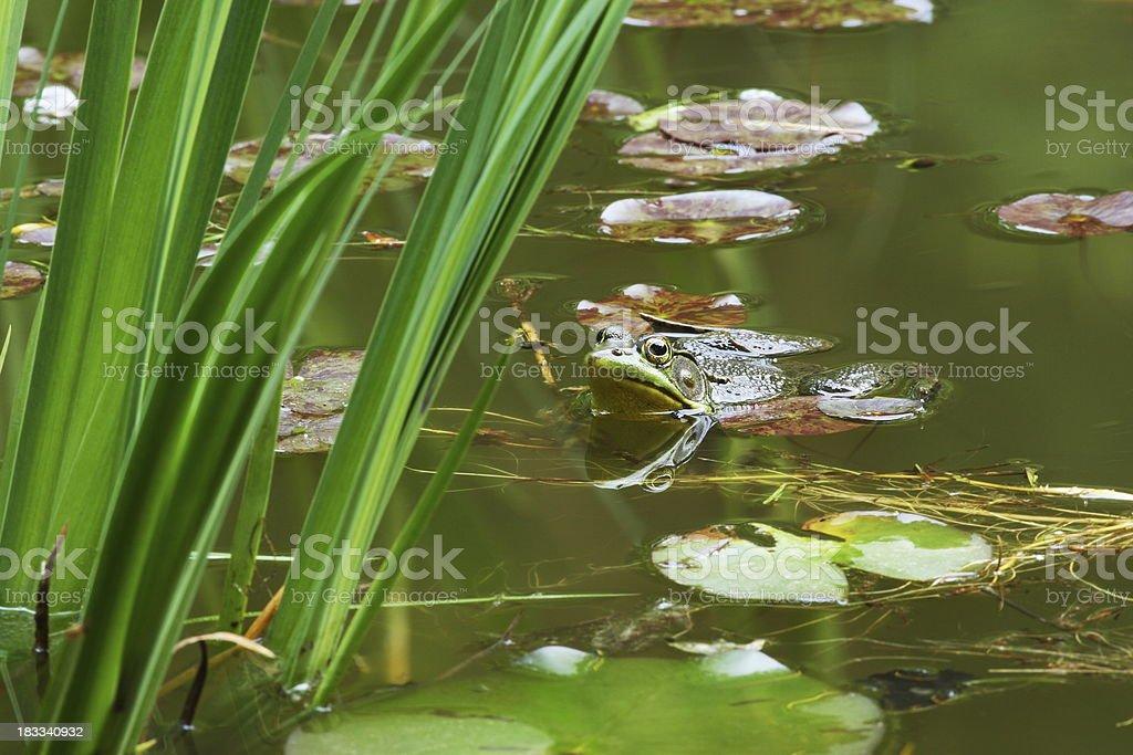 Frog Amphibian Lilypad Pond stock photo
