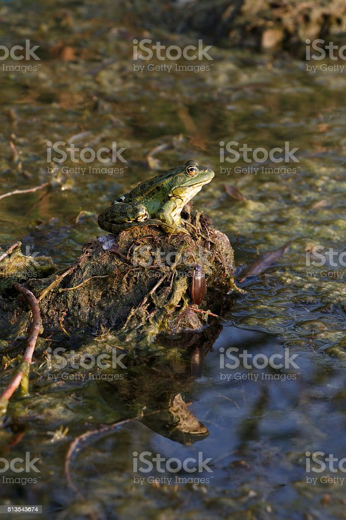 Frog and beetle resting on hillock stock photo