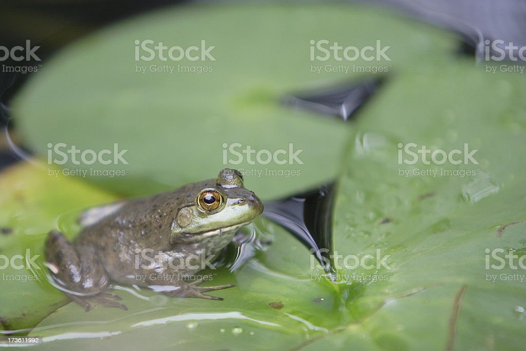 Frog and Lily Pads royalty-free stock photo