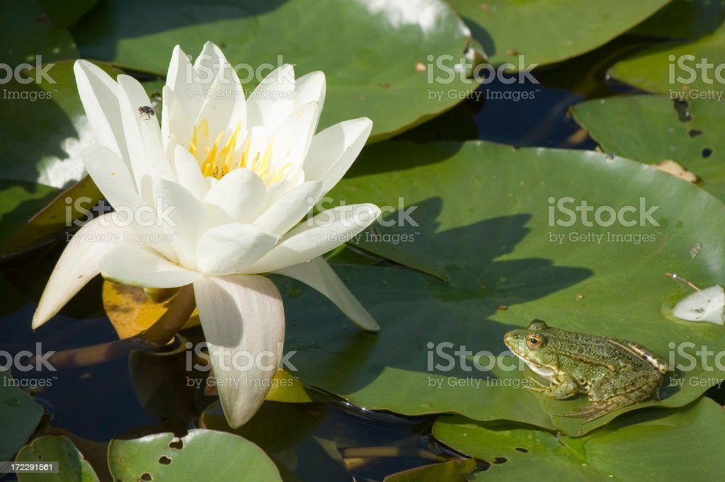 Frog and Lily royalty-free stock photo