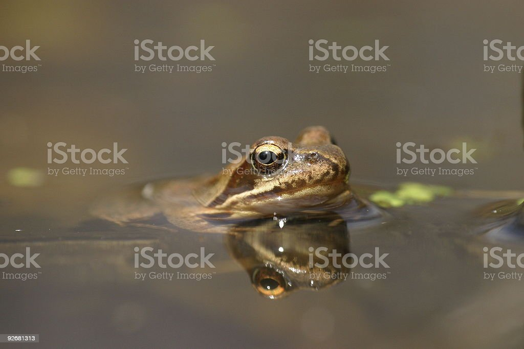 Frog and reflection in water royalty-free stock photo