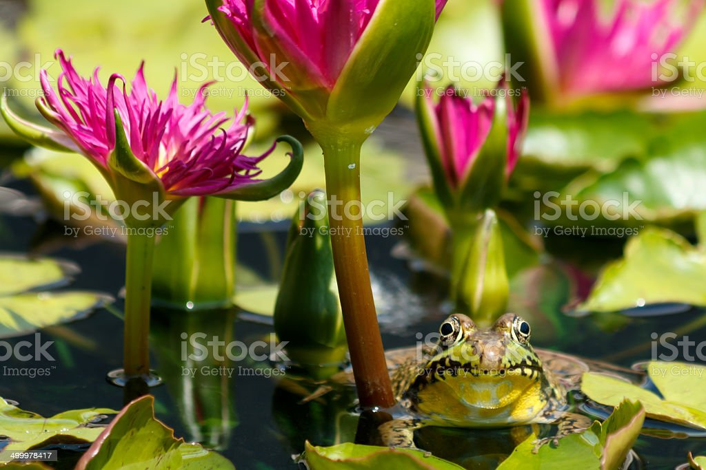 frog and water lilies stock photo