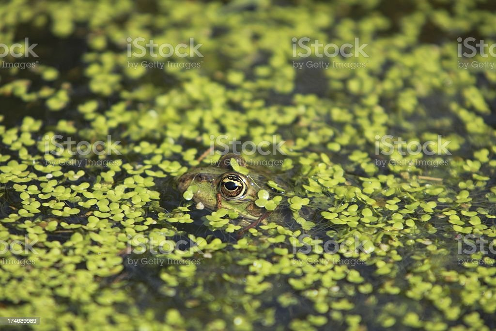Frog blending in royalty-free stock photo