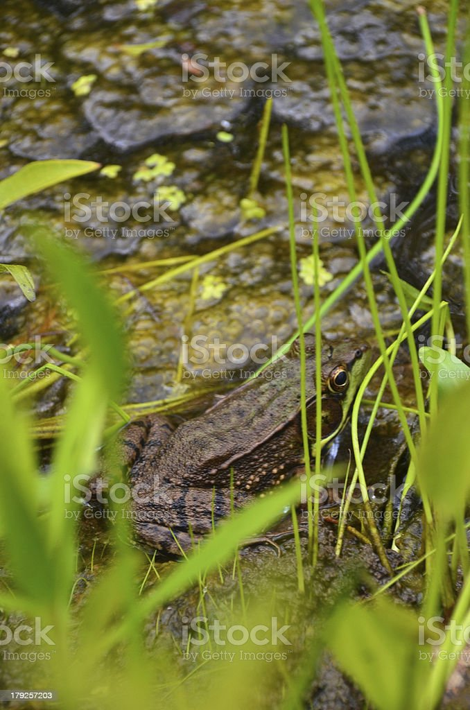 Frog camouflaged in the pond royalty-free stock photo