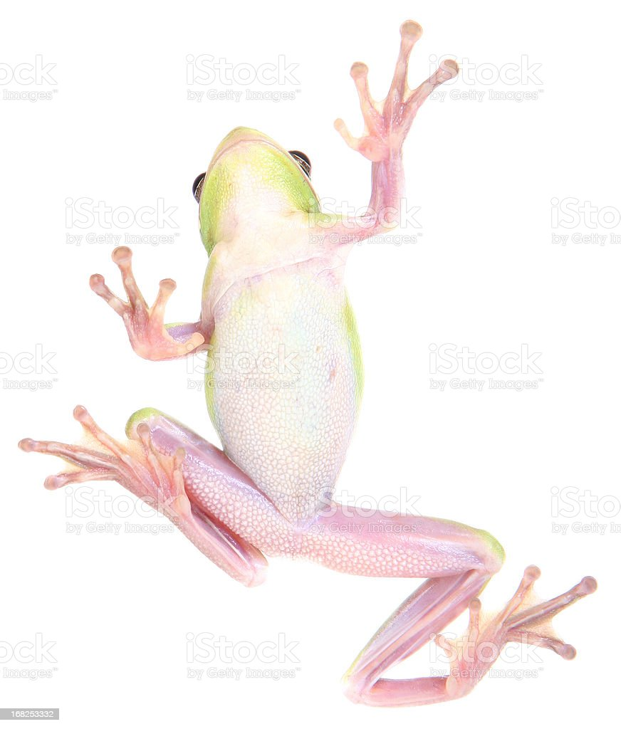 Frog Climbing royalty-free stock photo