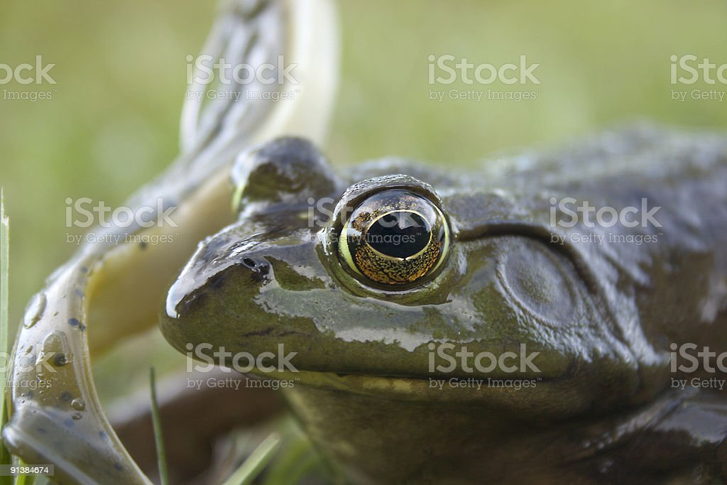 Frog Close-up stock photo