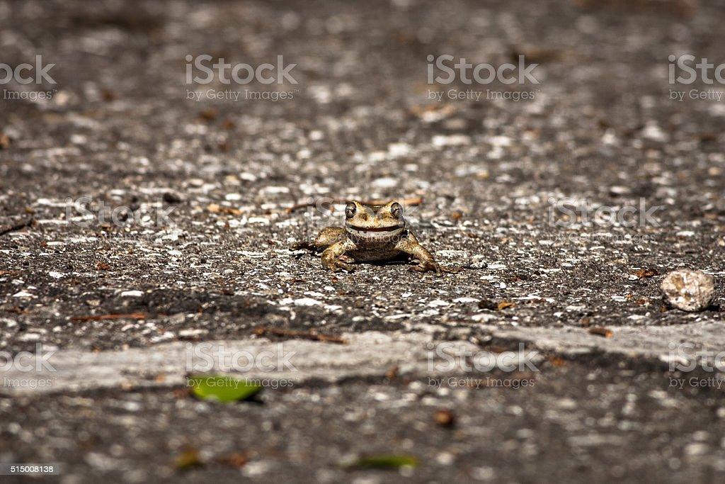 Frog  crawling across the road stock photo