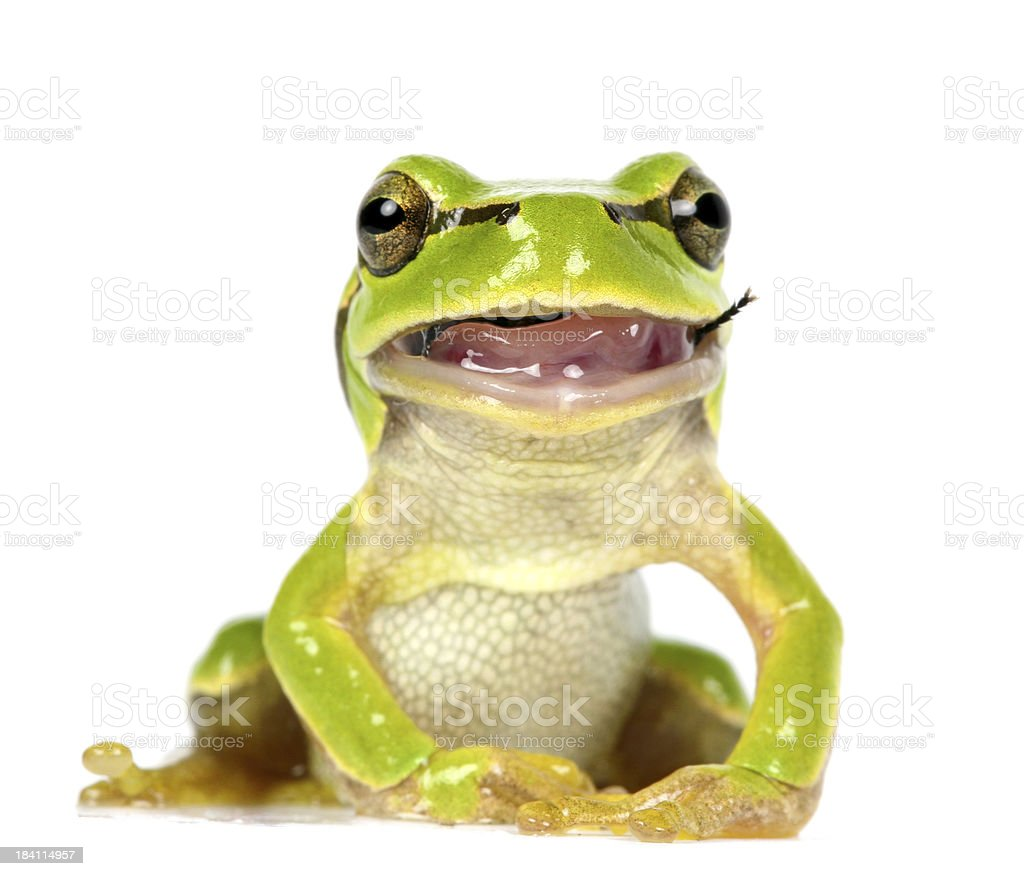 frog eating a fly royalty-free stock photo