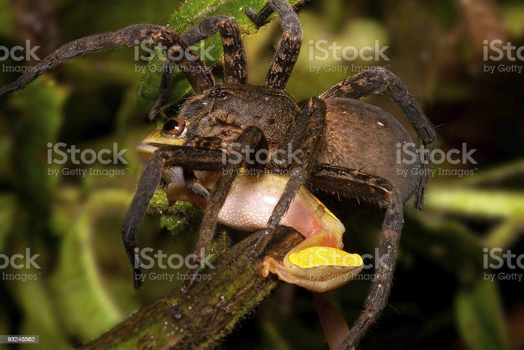 Frog eating tarantula big hairy spider kills amphibian stock photo