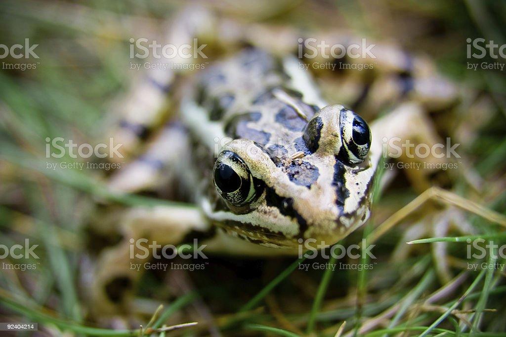 Frog Eyes stock photo