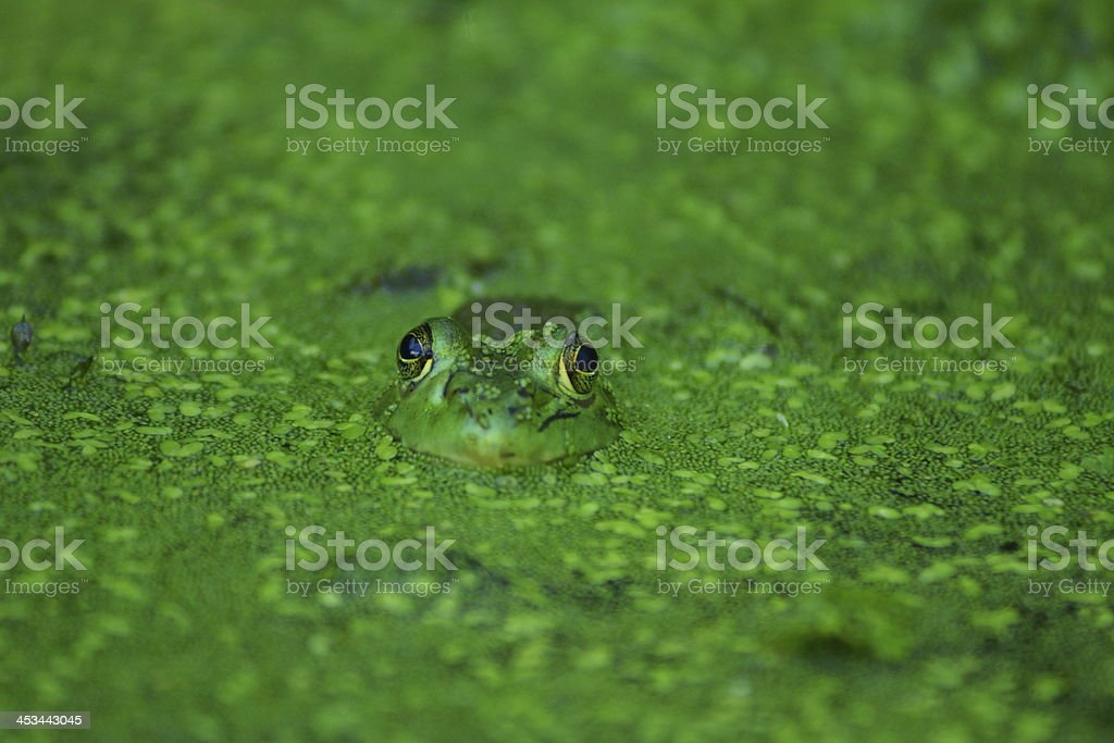 Frog Floating In The Water royalty-free stock photo
