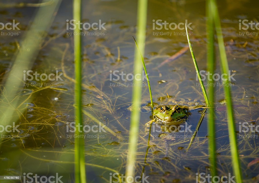 frog floating on the water surface stock photo