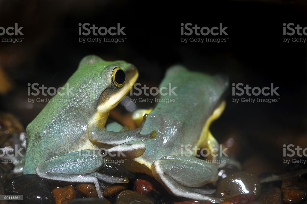 Frog Friends royalty-free stock photo