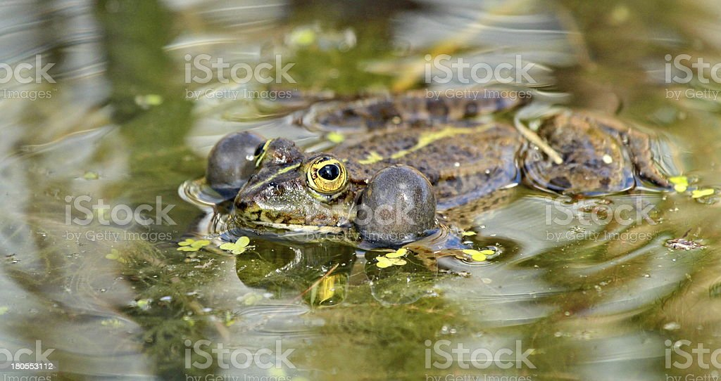 frog green royalty-free stock photo