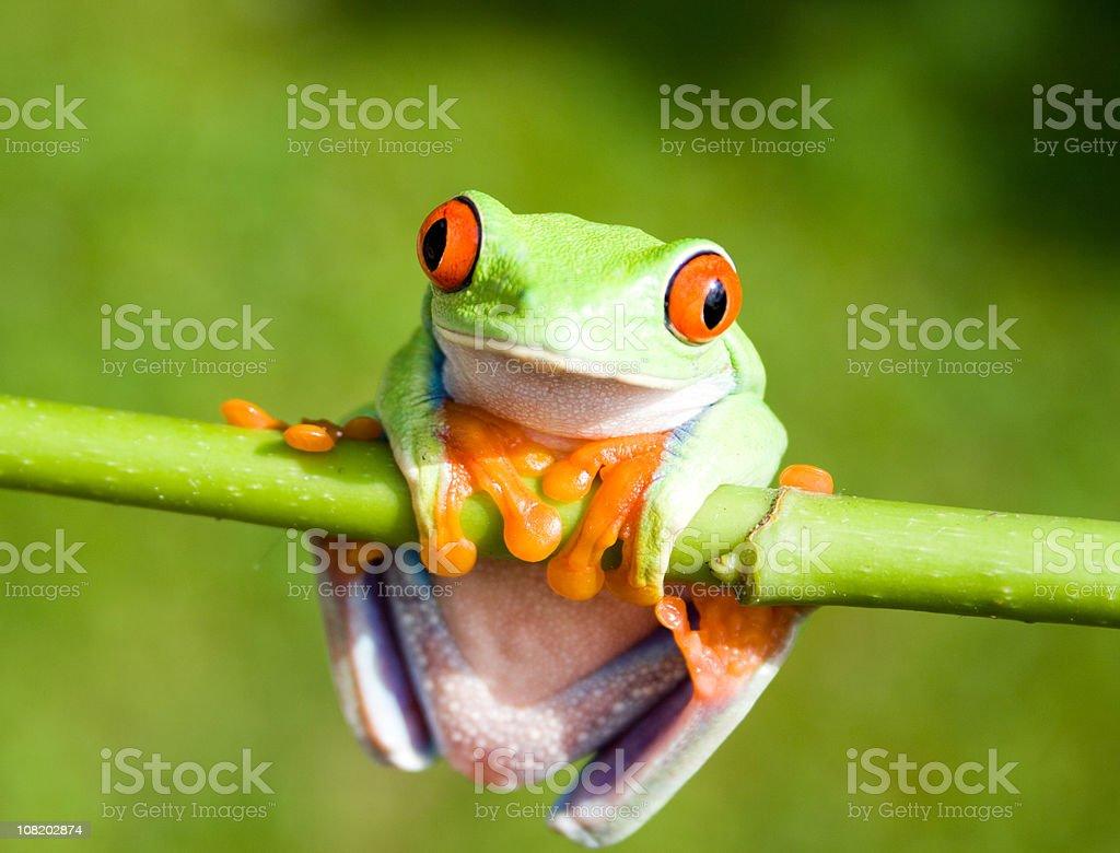 Frog Hanging on Stem royalty-free stock photo