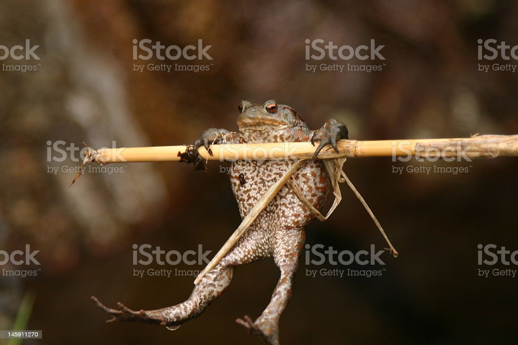 A frog hanging on to a bamboo stick royalty-free stock photo