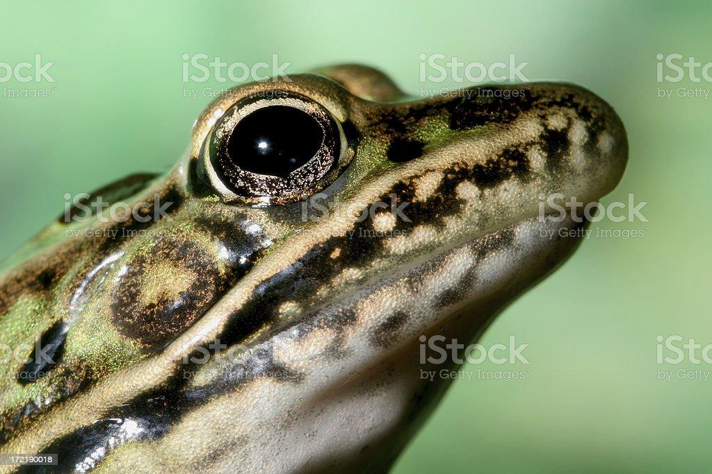 Frog Head stock photo