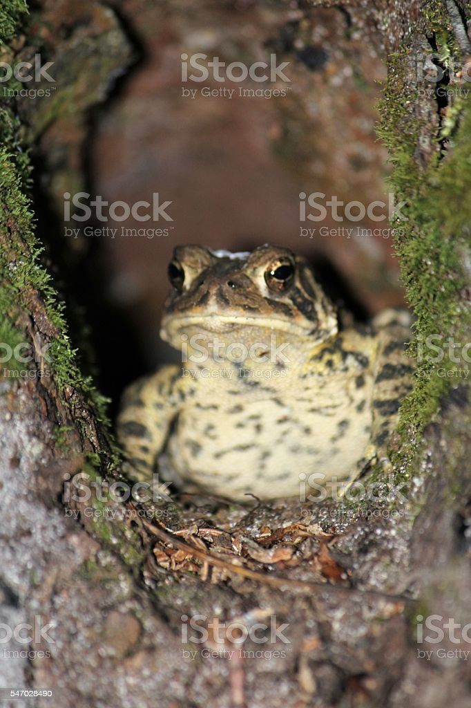 Frog in a Hole stock photo